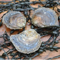 Cornish Native Oysters (S-M)
