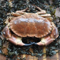 Live Brown Crab (L, XL)