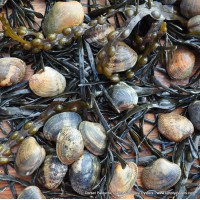 Dorset Palourde Clams