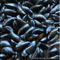 Fal Mussels (S-M)