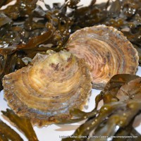 Lochnell Native Oysters (M-L)