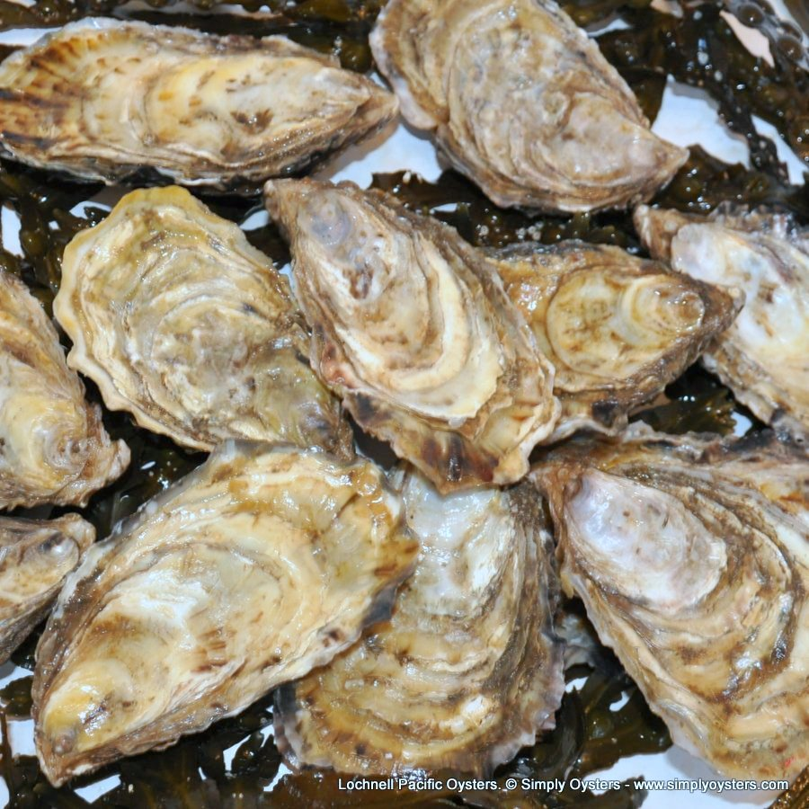Lochnell Pacific Oysters (M-L)