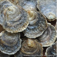 Mersea Native Oysters (S-L)