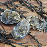 Poole Pacific Oysters (M-L)